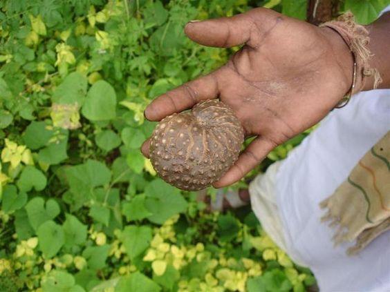 Dioscorea sp., I_PAO3031