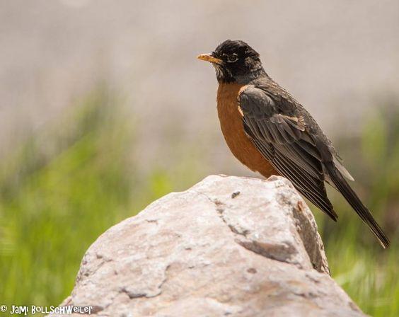 Robin Bird Utah