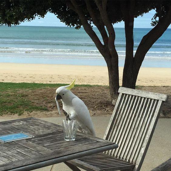 he needs a sugar fix  #cockatoo #lorne by hbomb30 http://ift.tt/1IIGiLS