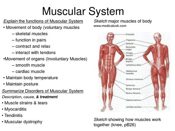 interesting facts muscular system – applecool, Muscles