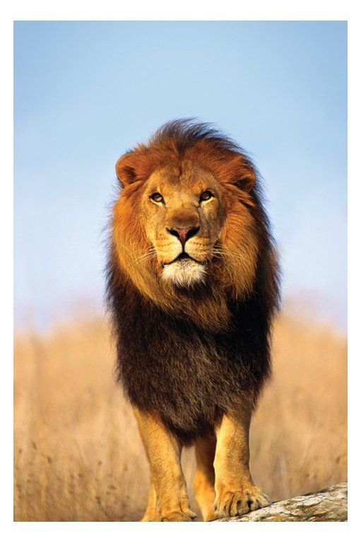 African Lion - The coat of the African lion varies from white to yellowish brown. A tawny-yellow is most common. Males are easily identifiable by their large manes.  On a still night, an African lion's roar can be heard from 8 km away.