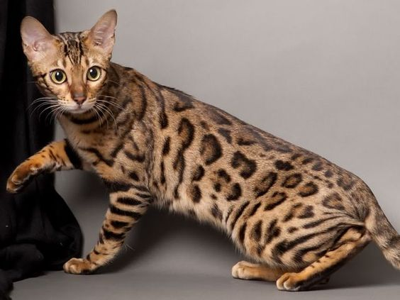 I'm the Bengal cat. It says that I like to go to parties, be with friends and that I'm hyper and funny. Yep, that's my description!