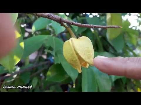 Polinasi Penyerbukan Buatan Pada Bunga Sirsak Youtube Ide Berkebun Bunga Kebun