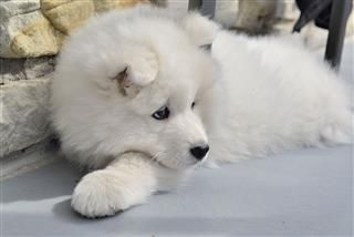 Samoyed Puppy Dog