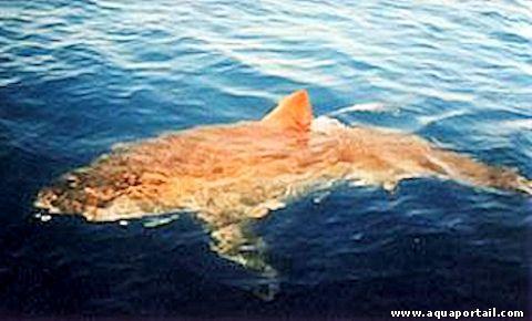 Définition illustrée de grand requin blanc de Méditerranée