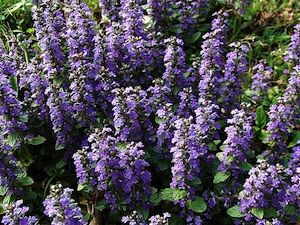 l 39 ajua ou bugle est une plante couvre sol appr ci e au jardin facile cultiver et peu. Black Bedroom Furniture Sets. Home Design Ideas
