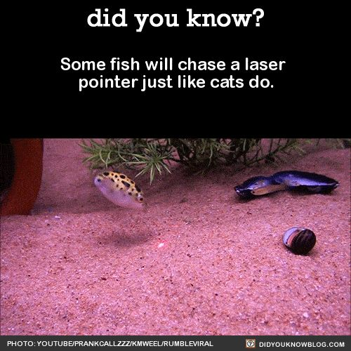 Why Do Cats Like To Chase Laser Pointers