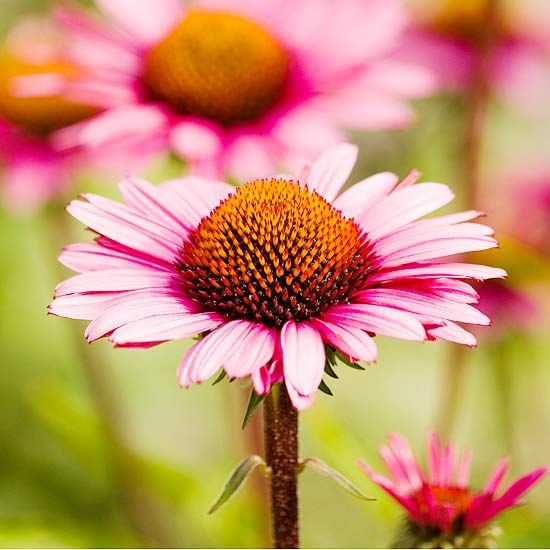 Add color to your garden using our favorite coneflower selections. Whether you want to plant purple, white, pink, or orange flowers, you'll find the best perennials for your landscaping here.