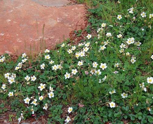 Plantas tapizantes rastreras o cubresuelos jardiner a - Lista nombre arbustos ...