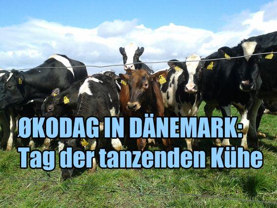 Die dänischen Bio-Bauernhöfe haben aus einer Normalität eine tolle Marketingveranstaltung gemacht: Jedes Jahr Mitte April (dieses Jahr am 13. April) werden alle Bio-Kühe gleichzeitig (12 Uhr) nach dem Winter auf die Weide gelassen. Schon Monate vorher kann man auf fast jeder Bio-Milchpackung darüber lesen, eine tanzende Kuh steht im Logo. Und tatsächlich machen die Kühe, die seit 1. November im Stall stehen mussten, wahre Freudensprünge!