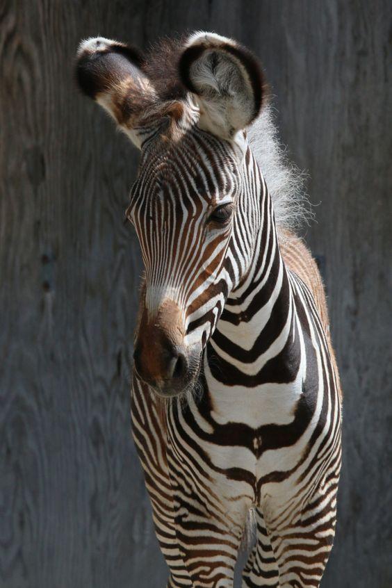 Endangered Zebra Filly Born at Toronto Zoo