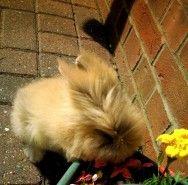 Criação de coelhos: coelhos da raça angorá
