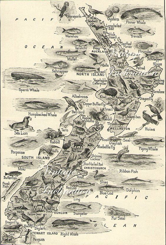 1930s Antique Vintage NEW ZEALAND Animals map original b/w map for framing