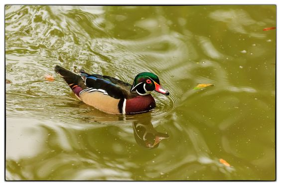 wood duck by Marcelles Prather on 500px