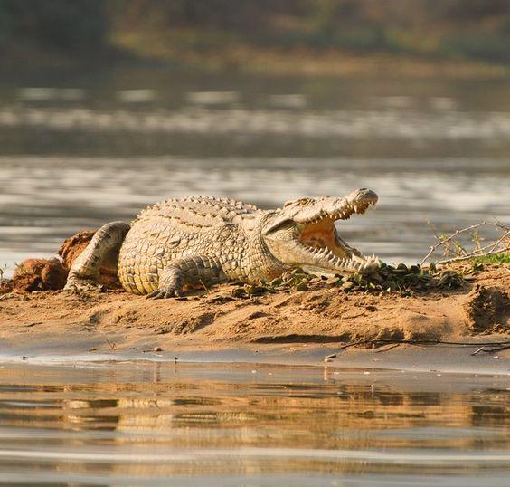 Mvuu Lodge crocodile