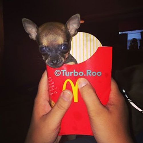 9 Times Turbo Roo The 2 Legged Chihuahua Stole Our Hearts With