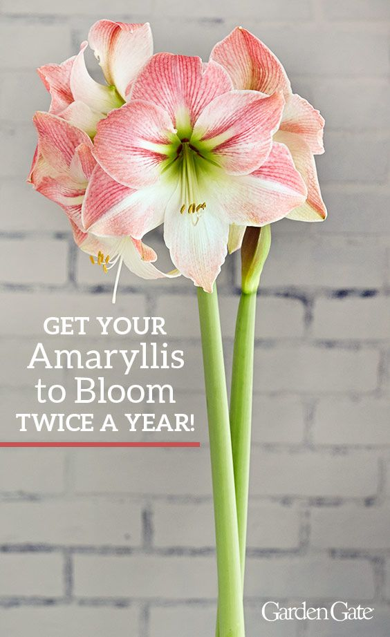 How To Get Your Amaryllis To Bloom Twice A Year Amaryllis Plant Amaryllis Bulbs Beautiful Flowers Garden
