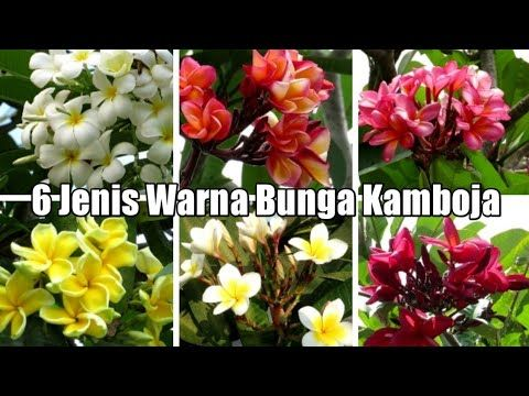 Gambar Bunga Kamboja Tercantik Di Dunia 6 Jenis Warna Bunga Kamboja The Best Color Frangipani Flower 123 Gambar Bunga Dan Macam Ma Di 2020 Bunga Gambar Bunga Sakura