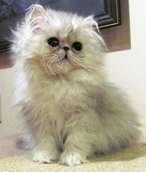 I M Going To Buy This Persian Kitten For Caitlyn Because She Is Special Persiancat Persiancatkitty Kittens Persian Kittens Kittens