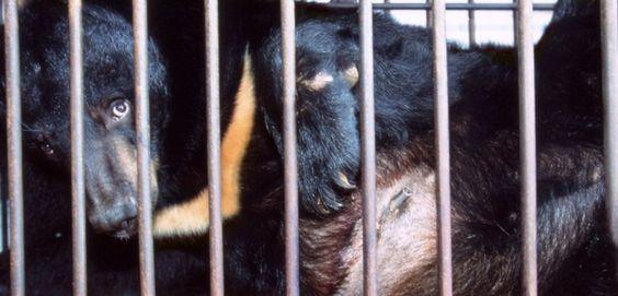 Si l'ours noir d'Asie est en voie d'extinction, c'est qu'il a dramatiquement souffert de la demande en acide biliaire. Entretien avec Michèle Jung, de l'ONG Animal Asia.  :'( sniff :'( sniff BOURREAU :'( ASSASSIN :'( SAUVAGE :'( CONNARD :'( POURRI :'( DEBILE :'( sniff :'( sniff  AMORE