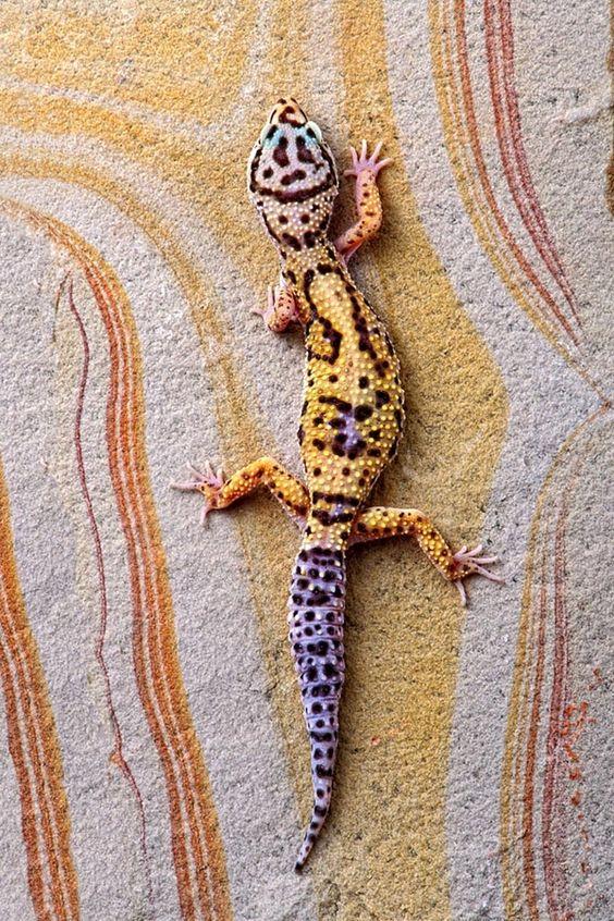 Leopard Gecko On Rainbow Slate. photo by bob jensen