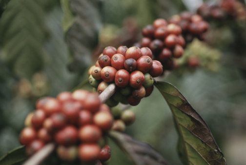 Caffè delle Terre Alte di Huehuetenango. Presidio Slow Food.