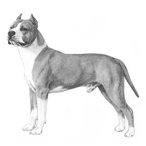American Staffordshire Terrier Dog Breed Information Terrier Dog
