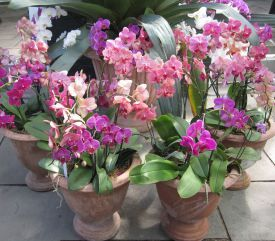 Phalaenopsis orchids on display at the NYBG's 2011 Orchid Show | Orchid Care FAQs - Brooklyn Orchids