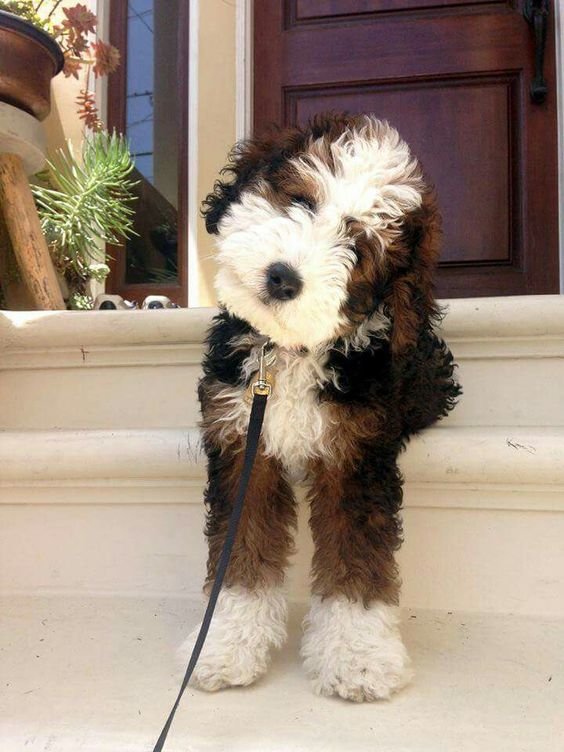 Bernedoodle Dog Breed Info Pictures Characteristics Facts