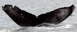 Center for Whale Research guide to humpback whale flukes