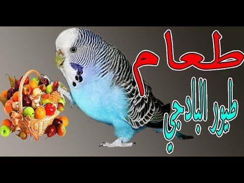 جميع ماتأكله طيور البادجي في 10 دقائق All Food For Budgies Birds Owl Bird