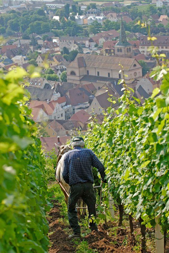 #Vendanges #vin #Alsace #DrinkAlsace http://www.facebook.com/photo.php?fbid=263743503745909=a.260778737375719.58991.260059700780956=1
