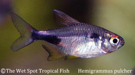 tetras pretty pretty tetra pulcher pretty garnet tetra freshwater fish ...