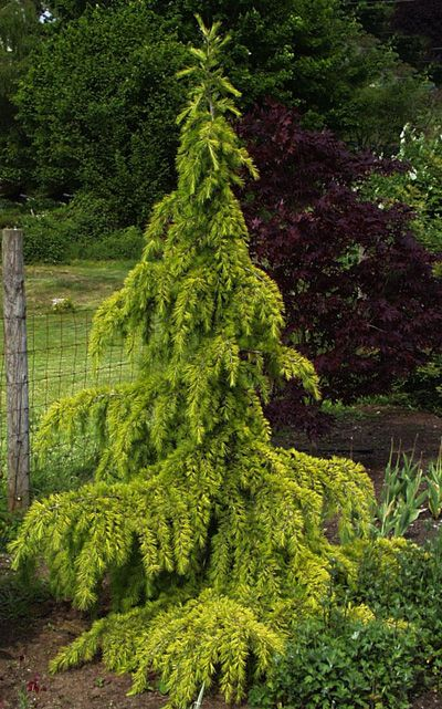 Cedrus deodara Aurea Golden Deodar. Grows at a moderate rate (Growth is slow at first, but then goes to 1-2' per year) to 50', Z 7-9.