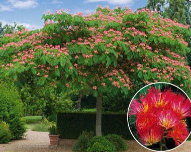 Albizia rouge de tuiliere l 39 arbre de soie fleurs rouges jardinage pinterest - Arbres a fleurs rouges ...