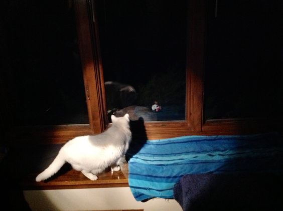 This helmeted guinea fowl showed up at our window last night. Snow, our kitty, was fascinated.  The bird not so much!