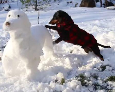 iPetGroup愛寵物 - 主人辛苦做出「狗雪人」想給臘腸狗作伴,沒想到主子一看到卻發狂攻擊...超爆笑!
