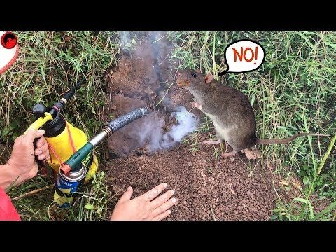 Mouse Trap With Smoke Smoke Trap Easy Saving Mice On Rice Field Rat Channel Youtube Mouse Traps Rat Traps Rats