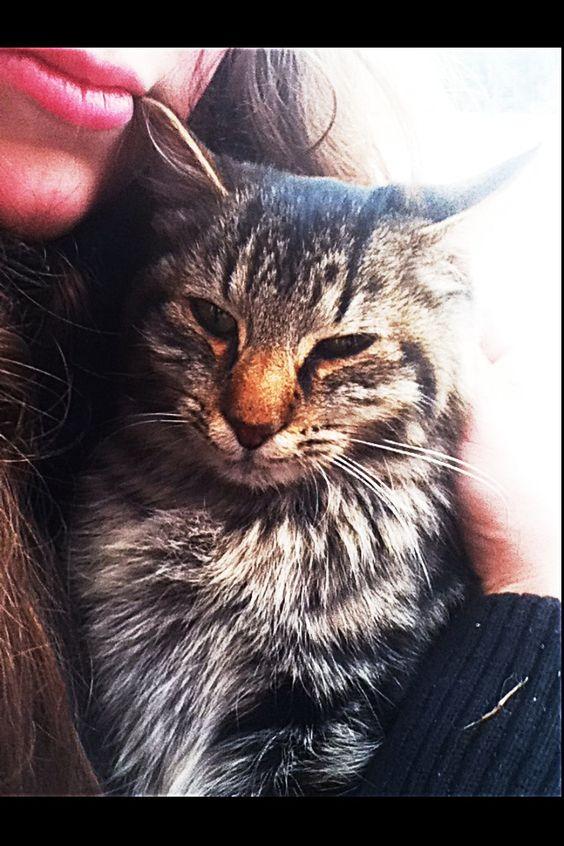 Cute kitten- Falcon