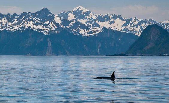 Orca off of Seward