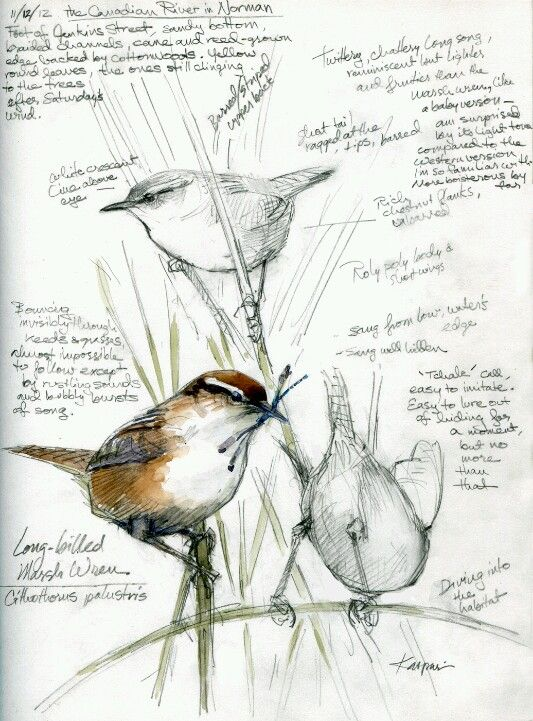 """Watercolor over pencil in Stillman and Birn Epsilon sketchbook. Notes on the sketch read: """"Marsh Wrens, Canadian River. The landowner welcomes birders, turns back most everyone else. His black angus bull didn't like me much, though."""""""