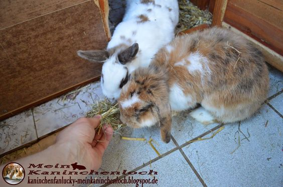 Kaninchenfan Lucky - Mein Kaninchenloch: Snow is already awake and half asleep Bella eats hay ♡  #kaninchen #rabbits #hasen #lapin #hare #karnickel #pets #haustiere   http://kaninchenfanlucky-meinkaninchenloch.blogspot.de/2014/08/snow-is-already-awake-and-half-asleep.html