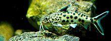 Synodontis multipunctata - Wikipedia, the free encyclopedia