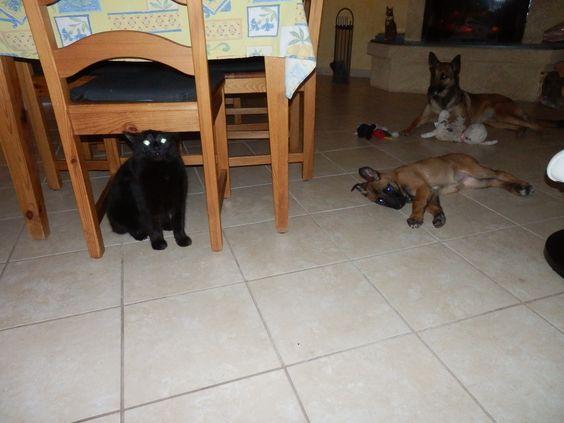 Découverte du bébé... Malinois /chat noir