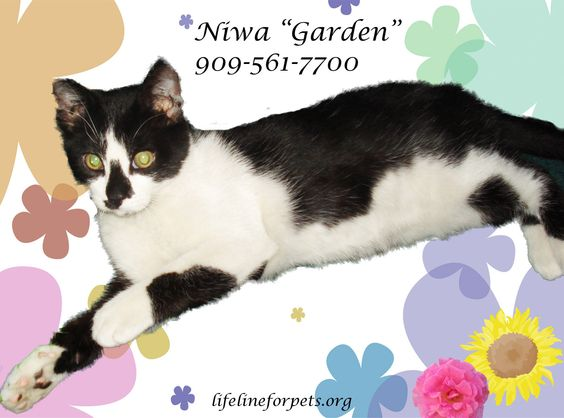 """NIWA: Less than a year old, she's another """"purr-fect"""" kitty. We've explained that her name means """"garden"""" in Japanese. Has she been passed over because she has to be adopted with her best bud, """"Brownie""""? Call 909-561-7700."""