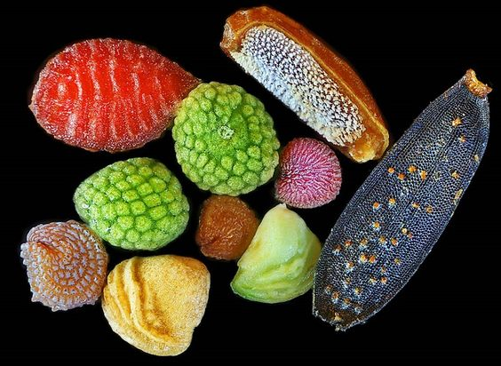 The intricacy and diversity of the seed -  Image by Rob Kesseler, robkesseler.co.uk.