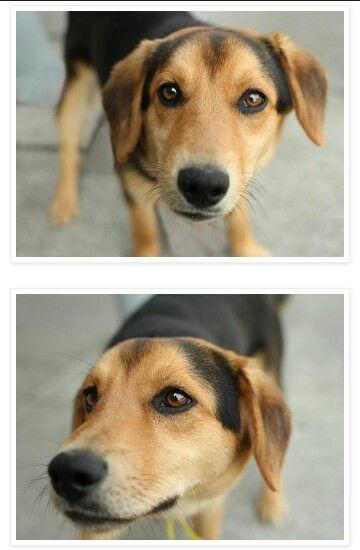 Beagle X German shepherd