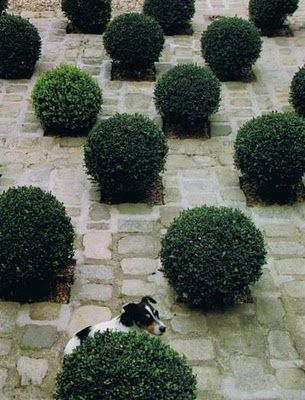 what is it about boxwoods....love em!: