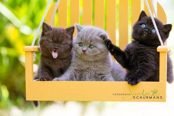BKH vom Oranienbaum / Britisch Kurzhaar Cattery aus Berlin / Brandenburg. Wir sind eine kleine Cattery aus Berlin und haben gelegentlich BKH Kitten in liebevolle Hände abzugeben. Auf unserer Homepage erfahren Sie mehr über uns und vor allem unsere Fellnasen....