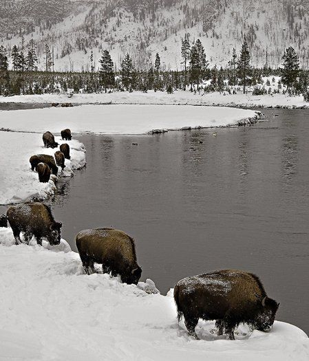 Bison in winter in Yellowstone National Park